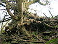 Auchenskeith sycamore roots and rock face.jpg