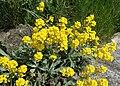 Aurinia saxatilis kz01.jpg