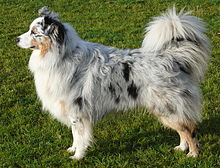 Australian Shepherd Health Dog Food