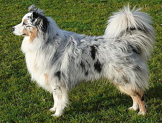 Australian Shepherd - Australian Shepherd