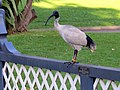 Australian White Ibis - The Royal Botanic Gardens - Sydney, Australia (9533764060).jpg
