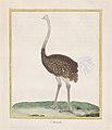 Autruche (Ostrich) Met DP887750.jpg
