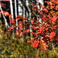 Autumn Coloured Oak Leaves (15386528716).jpg