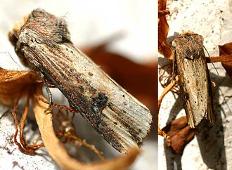 Flame (moth) - Image: Axylia putris 01