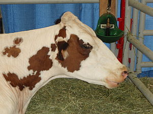 Ayrshire cattle - The head of an Ayrshire cow