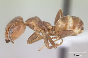 Azteca (genus) - A. adrepens worker from Paraguay