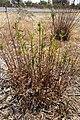 Azumiate (Baccharis salicifolia) junto a la carretera.jpg