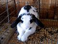 B&W rabbit 2 (121694396).jpg