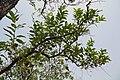Bénin-Trichilia emetica (3).jpg