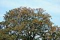 Búcaro - Písamo (Erythrina fusca) - Flickr - Alejandro Bayer (1).jpg