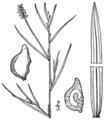 BB-0197 Potamogeton rutilus.png