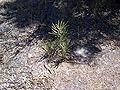 B prionotes juvenile wagin gnangarra.jpg