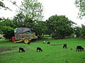 Baa baa black sheep - geograph.org.uk - 447805.jpg