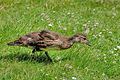 Baby Bird (5585148445).jpg