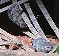 Baby groundhogs - 05-17-2020.jpg