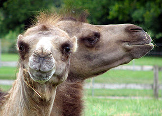 Bactrian camel - Two Bactrian camels