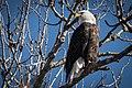 Bald Eagle (23443124884).jpg