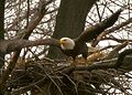 Bald eagle take off from nest (5278274354).jpg
