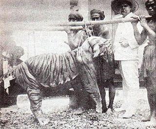 Bali tiger Extinct tiger population in Sunda Island Bali