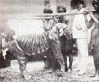 West Bali National Park - A Balinese tiger which was killed by M. Zanveld, in 1920s.