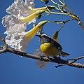 Bananaquit (4458804891).jpg