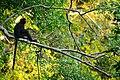 Banded Langur, Presbytis femoralis in Kaeng Krachan national park (15764360439).jpg