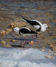 Two brown and white birds wading in shallow water