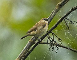 Bar-breasted Firefinch fem - Kakum - Ghana S4E2515 (22595258119).jpg