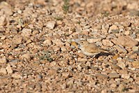 Bar-tailed Lark (4989718826).jpg