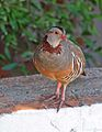 Barbary Partridge, Gibraltar.jpg