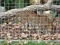 Barcelona-Zoo-Leopardo de Sri Lanka (Panthera pardus kotiya) (I).jpg