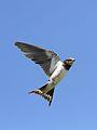 Barn swallow, Hirundo rustica, at Rietvlei Nature Reserve, Gauteng, South Africa (31378016536).jpg