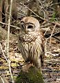 Barred Owl No 2 (14498702548).jpg