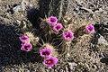 Barrel Cactus (8425302838) (2).jpg