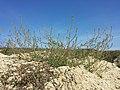 Bassia scoparia subsp. densiflora sl45.jpg