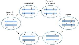 Bateson–Dobzhansky–Muller model