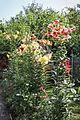 Baumlilien (Lilium) (20483921361).jpg