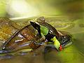 Beautiful Mantella (Mantella pulchra), Vohimana reserve, Madagascar (11763124235).jpg