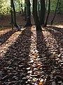 Beech wood near Burchett's Green - geograph.org.uk - 283554.jpg