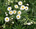 Bellis perennis Common Daisy.JPG