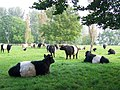 Belted Galloway Cattle, Bishopstone - geograph.org.uk - 976400.jpg