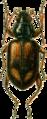 Bembidium andraeae Jacobson.png