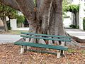 Bench Under Moreton Bay Fig (32418511886).jpg
