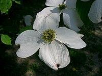 Benthamidia florida1