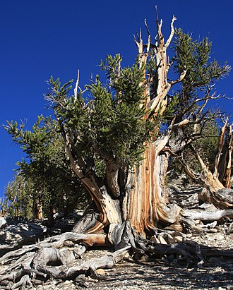 White Mountains (California) - Bristlecone pine, White Mountains, California.