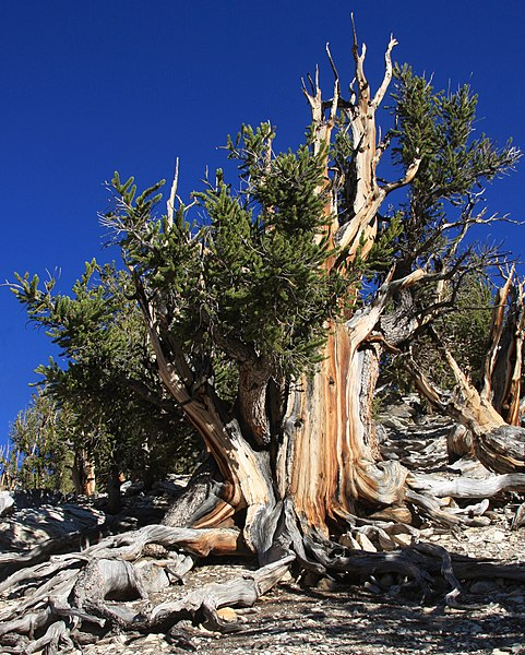 bristlecone pine and carbon dating