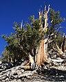 Big bristlecone pine Pinus longaeva.jpg