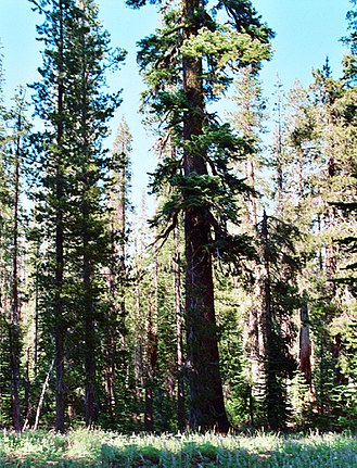 Lassen National Forest - Old growth red fir tree in Lassen National Forest, California.