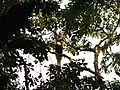 Bird Great Hornbill Buceros bicornis IMG 8659 19.jpg