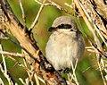 Bird loggerhead shrike 05 (15095246855).jpg